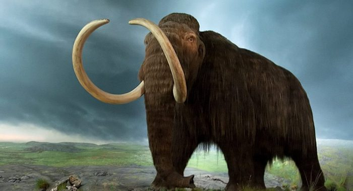 Breakthrough in Cloning of Woolly Mammoth Announced by Scientists  1