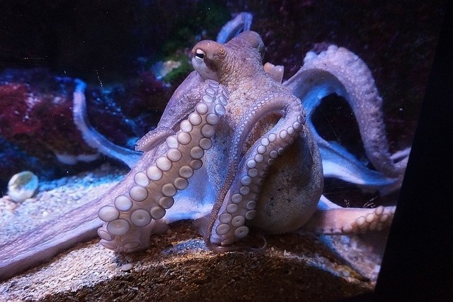 Octopuses Are Believed To Be From Another World 94