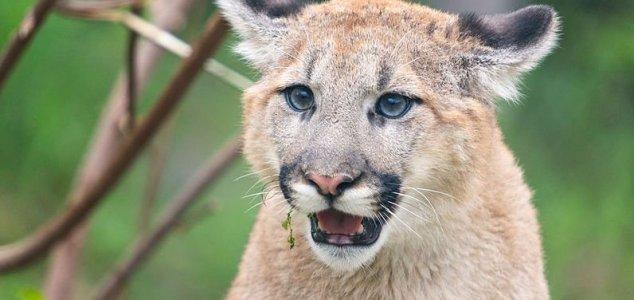 'Extinct' cougars sighted in North Carolina 20