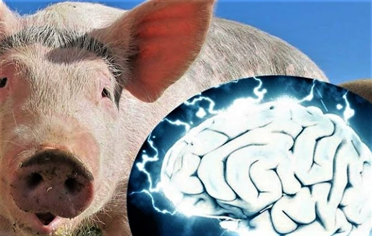 Scientists revived the brains of pigs who died a few hours ago 12