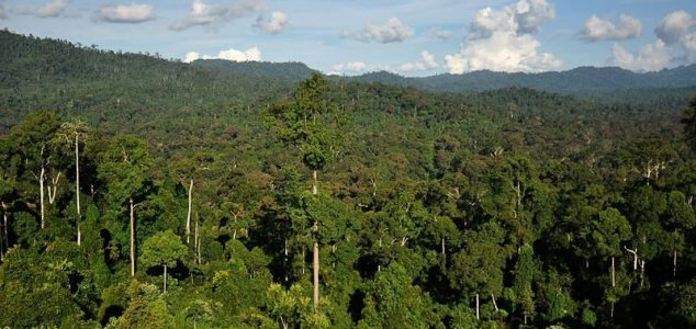 World's tallest tropical tree discovered 1
