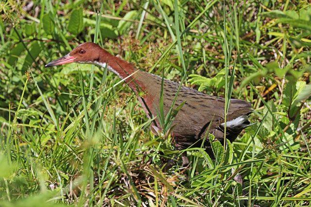An Extinct Bird Evolves Back into Existence 5