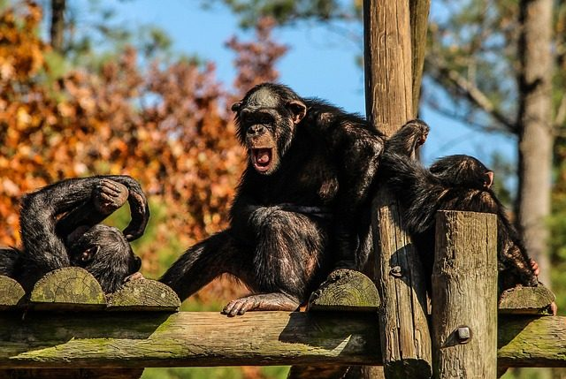 Group of Chimps Uses Tools to Dig Holes and Find Food 92