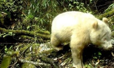 First known albino panda caught on camera 87