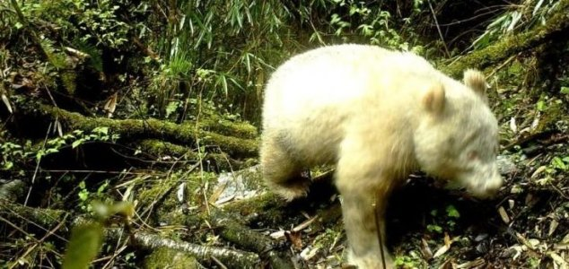 First known albino panda caught on camera 86