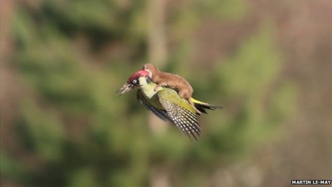 Rare Photo Catches A Weasel Riding On A Woodpecker 86
