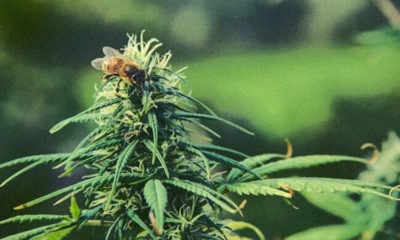 Study Shows Growing Hemp is a Powerful Tool to Fight Bee Population Decline 89
