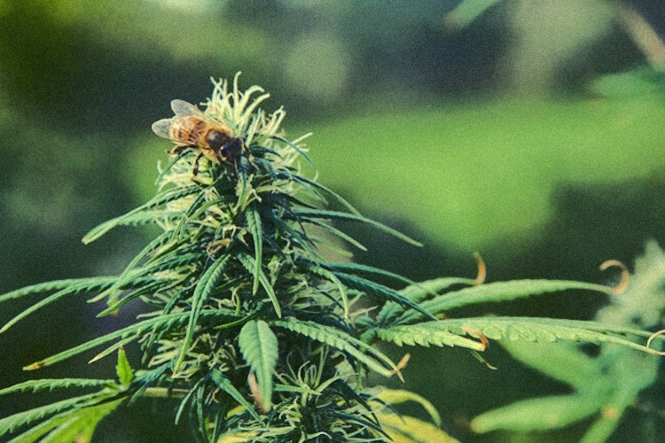 Study Shows Growing Hemp is a Powerful Tool to Fight Bee Population Decline 26