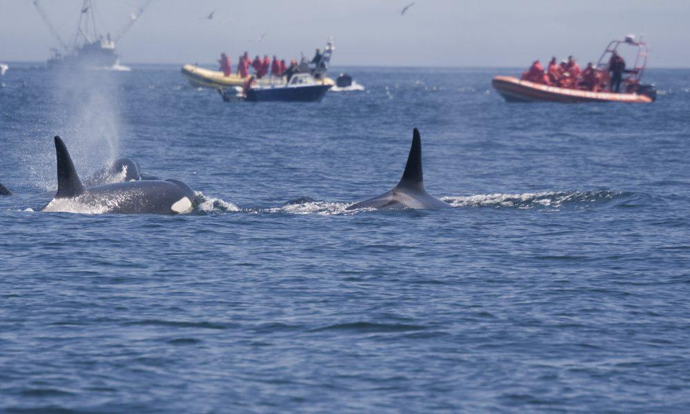 Canada Bans Whale, Dolphin And Porpoise Captivity 86