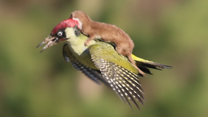 Rare Photo Catches A Weasel Riding On A Woodpecker 2
