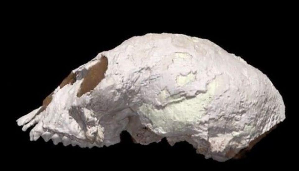 Tiny 20-million-year-old skull sheds new light on evolution of human brain 10