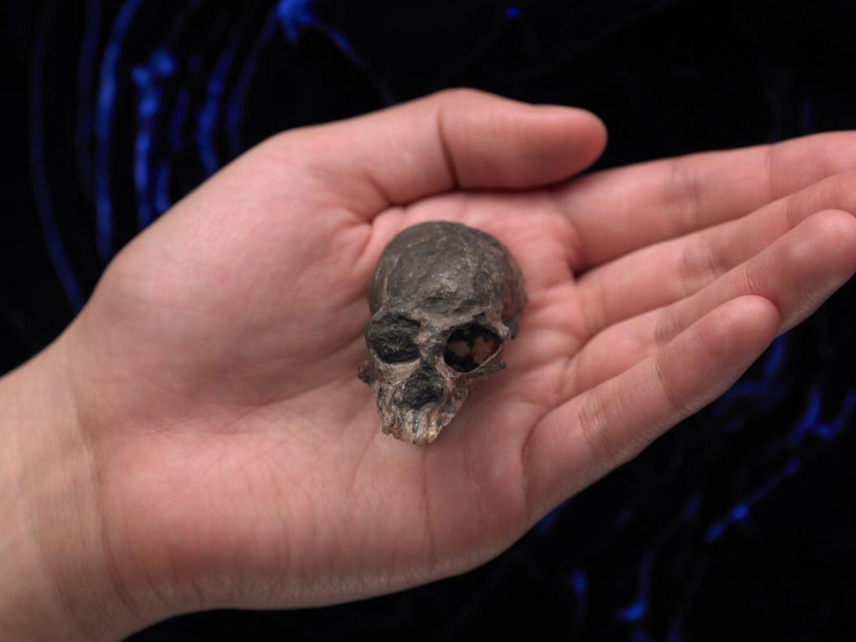 Tiny 20-million-year-old skull sheds new light on evolution of human brain 7