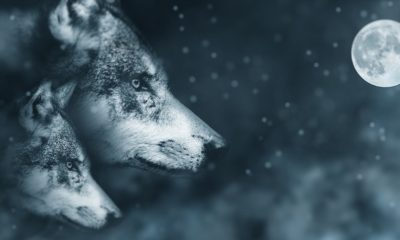 Wolves Exhibit Psychic Abilities which Have Saved People's Lives 87