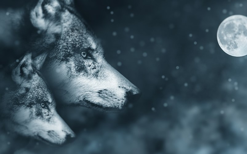 Wolves Exhibit Psychic Abilities which Have Saved People's Lives 86