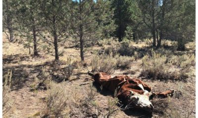 Mysterious rash of cattle mutilations in Oregon 89
