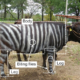 Painting Cows To Look Like Zebras Has A Surprising Benefit 87