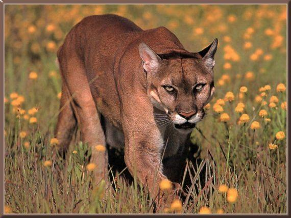 Watch Out, Dogman — Cougars Are On the Loose in Michigan 95