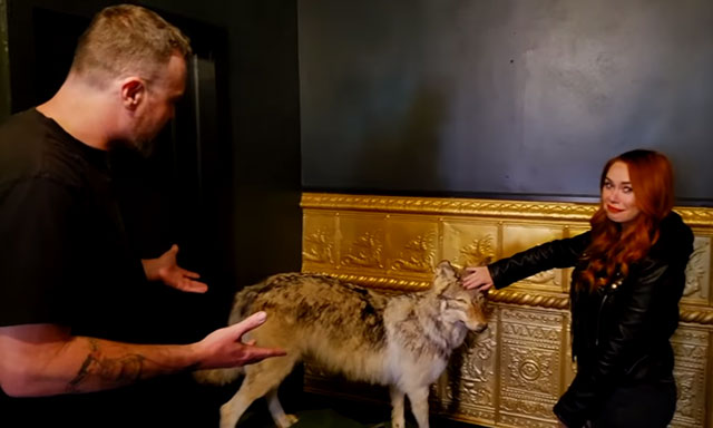 A taxidermy wolf at the Black Monarch Hotel in Victor, Colorado