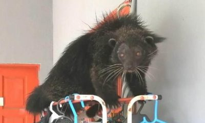 Binturong: A Strange creature that looks like a cat, otter, and bear 100