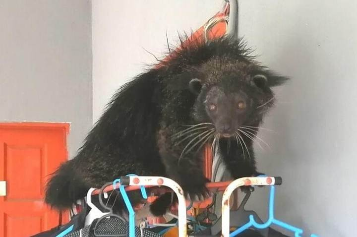 Binturong: A Strange creature that looks like a cat, otter, and bear 10