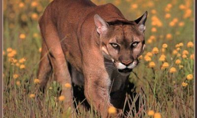 Watch Out, Dogman — Cougars Are On the Loose in Michigan 89