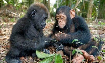 Australopithecines were less intelligent than modern apes 87