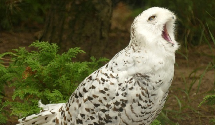 The Strange Link between White Owls, UFOs and Aliens 10