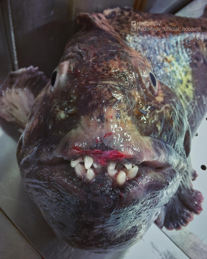 A wolf fish, also known as sea wolf or wolf eel