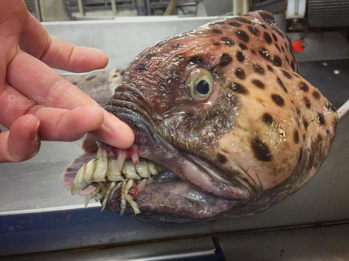 Roman Fedortsov spends most of his time on trawlers, where he encounters odd-looking fish, including some with 'teeth', above