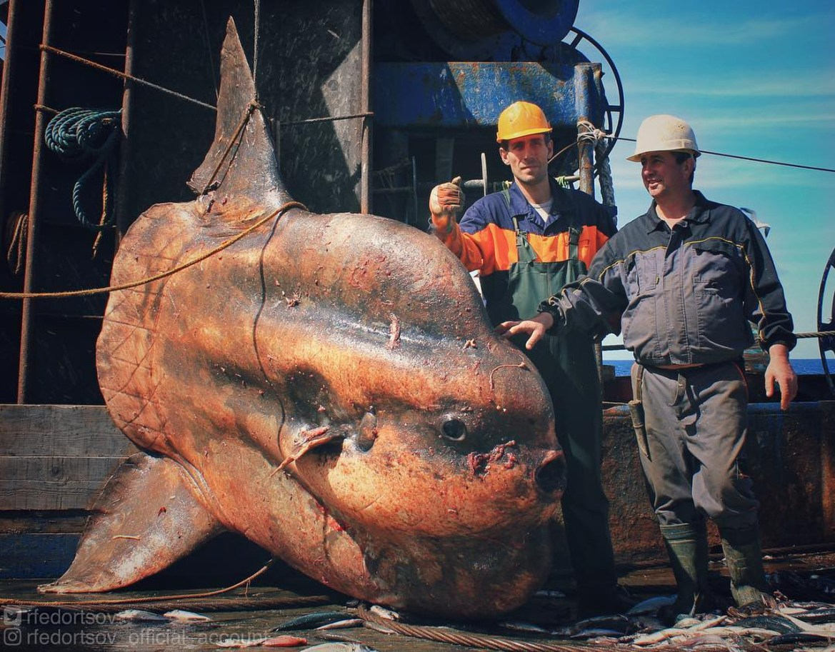 This human-sized sunfish was among the huge array of strange creatures hauled on board various Russian trawlers