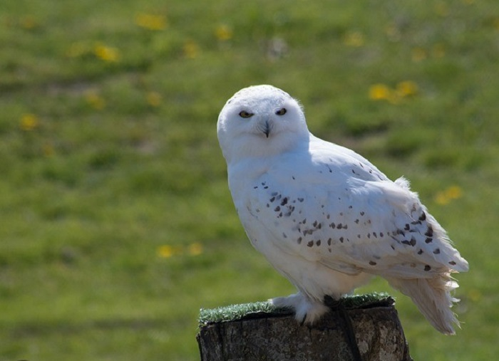The Strange Link between White Owls, UFOs and Aliens 8