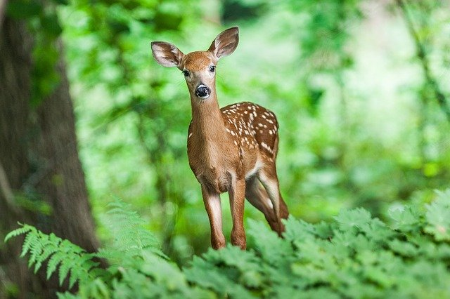 Climate change would be changing deer to give birth early