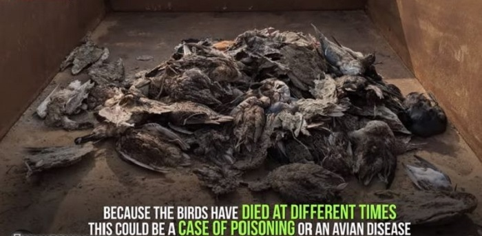 More than 5,000 birds die suddenly from a mysterious death 96