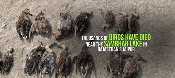 More than 5,000 birds die suddenly from a mysterious death 97