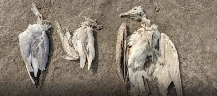 More than 5,000 birds die suddenly from a mysterious death 98