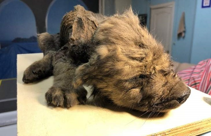 A perfectly preserved 18,000 year old puppy was found in the Siberian permafrost 12