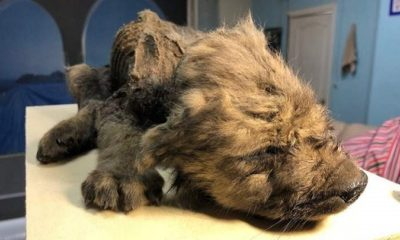A perfectly preserved 18,000 year old puppy was found in the Siberian permafrost 90