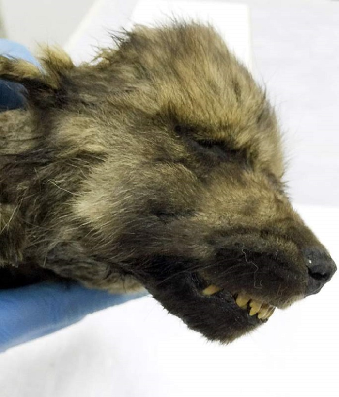 A perfectly preserved 18,000 year old puppy was found in the Siberian permafrost 99