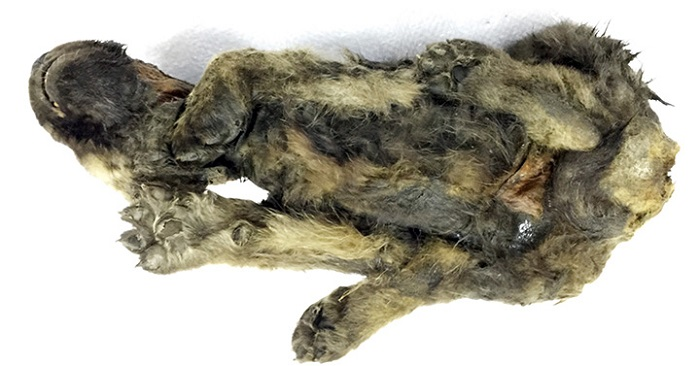 A perfectly preserved 18,000 year old puppy was found in the Siberian permafrost 100