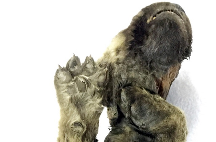 A perfectly preserved 18,000 year old puppy was found in the Siberian permafrost 16