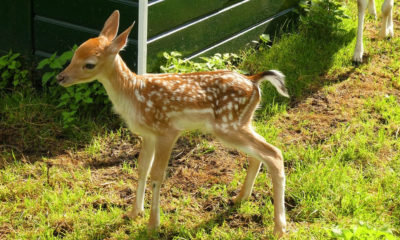 Climate change would be altering deer to give birth early 104