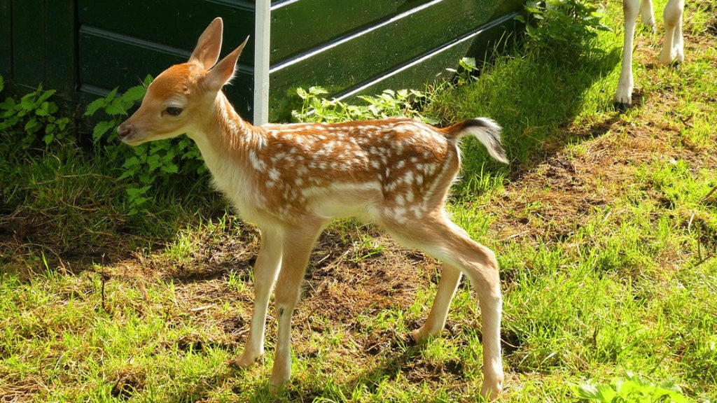 Climate change would be altering deer to give birth early 28