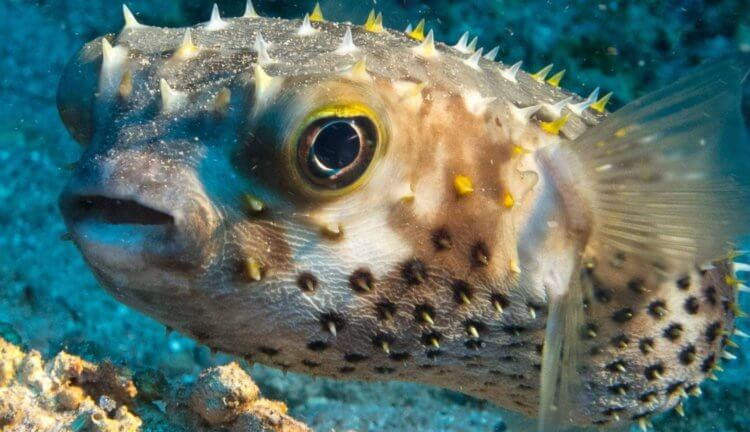 Why does the most poisonous fish need poison? 8