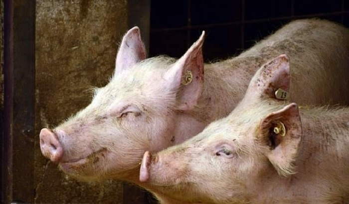 Chinese geneticists create huge super-pigs 91