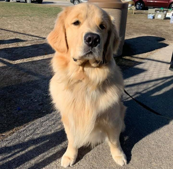 Authorities were able to collar the suspect, a therapy golden retriever named Ben.
