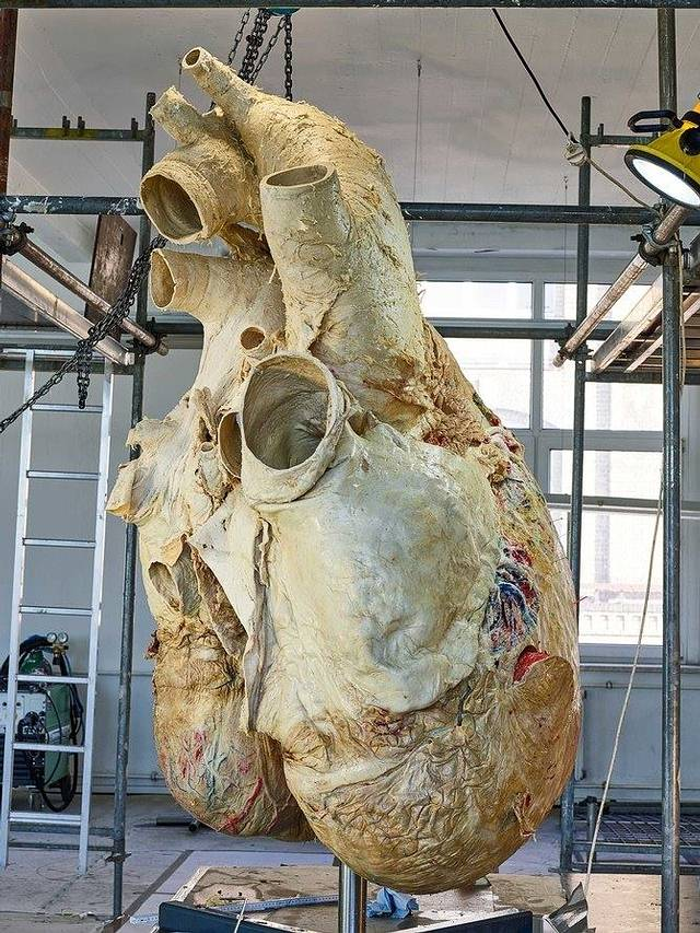 Blue whale heart. With a weight of 200 kg, it was extracted from a specimen that found its final destination on the coast of Newfoundland, Canada, in 2014. heartbeat of a blue whale is recorded