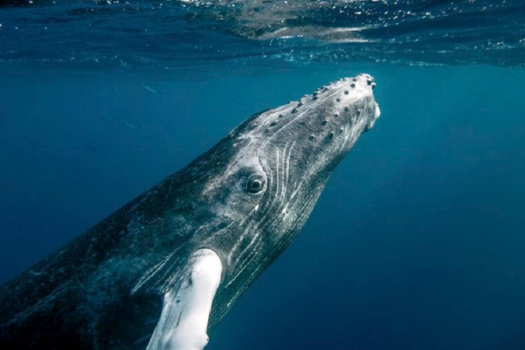 Humpback Whales Have Made a Stunning Recovery After Coming Close to Extinction 1