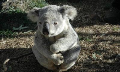 Australia: 50 percent of Koalas died in fires 87