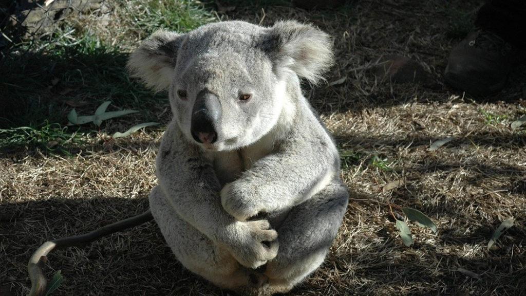 Australia: 50 percent of Koalas died in fires 8