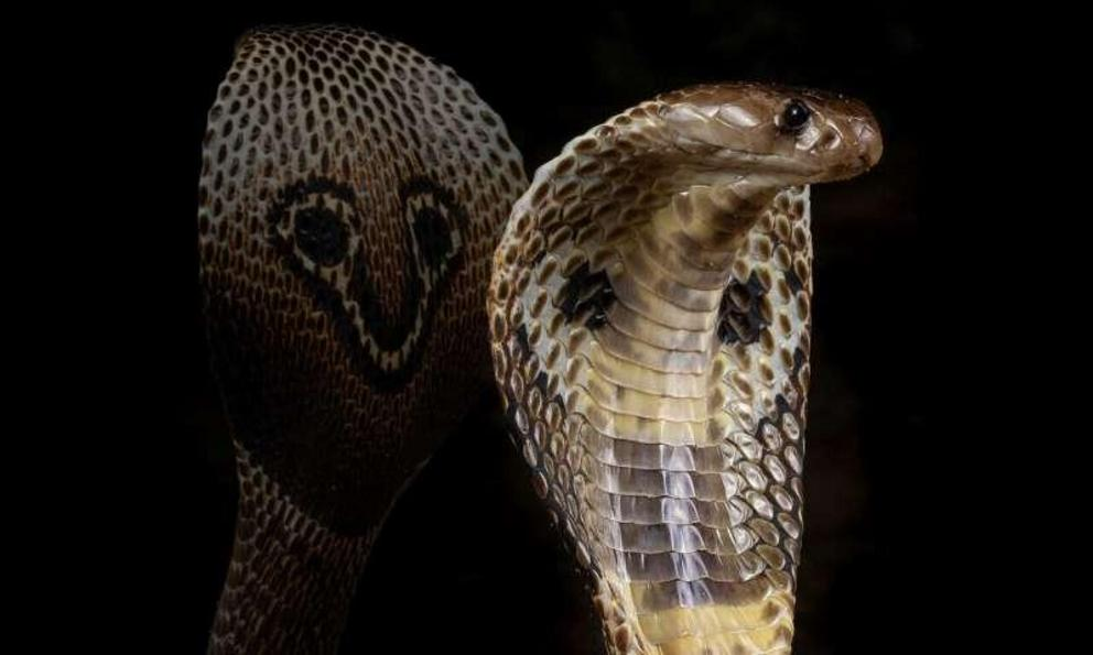 Indian cobra genome sequenced in search for new antivenom 1